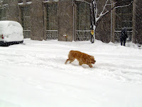 Golden retriever loving the snow