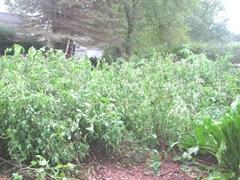 2011 Hurricane Irene tomato plants