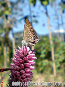 The Peablue, Pea Blue, or Long-tailed Blue (Lampides boeticus) 2