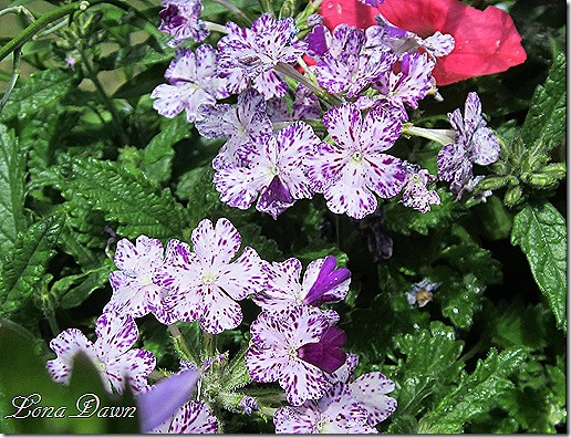 Verbena_Purple_Mosaic