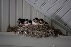 Franny and Sharkey explained that the barn swallows have migrated back to the farm to build those nests to lay approximately 5 or 6 eggs in.  Those eggs will hatch after about 2 weeks, producing adorable babies.