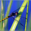 Dragon Fly on Grass_hf.jpg