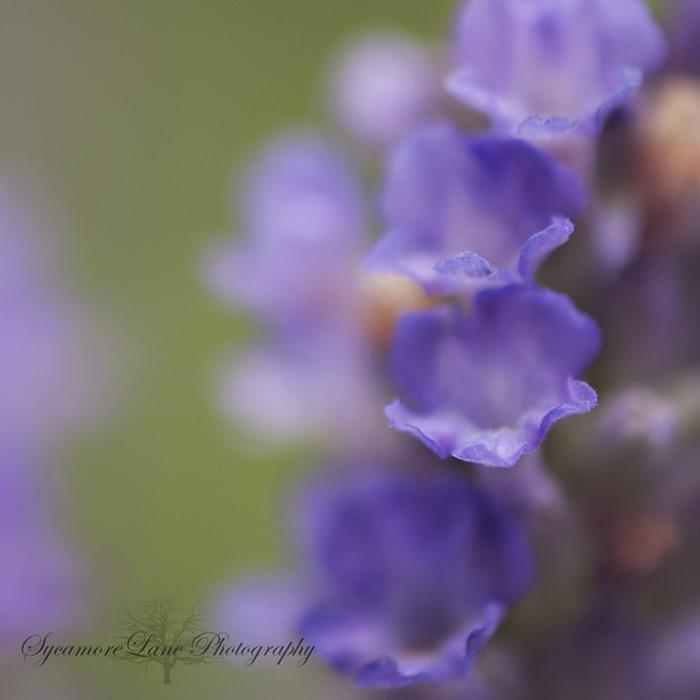 Lavender-1-SycamoreLane Photography