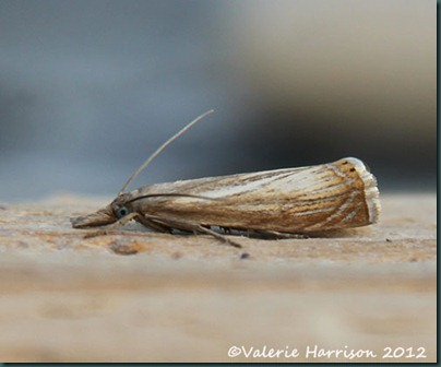 Chrysoteuchia-culmella (2)