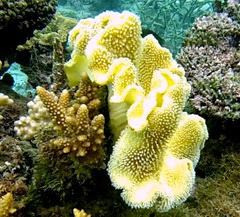 Yellow Carpet Coral