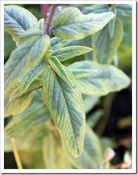 121212_Morningsun_plants_Salvia-leucantha-variegata_01