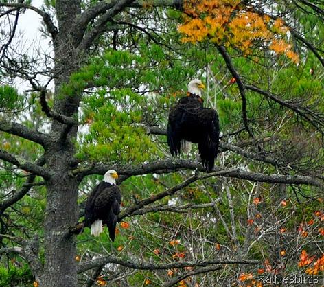 1. rossmore eagles-kab