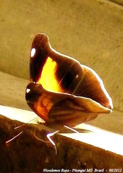 Historis odius dious LAMAS, 1995. Pitangui (MG, Brésil), 24 juin 2012. Photo : Nicodemos Rosa