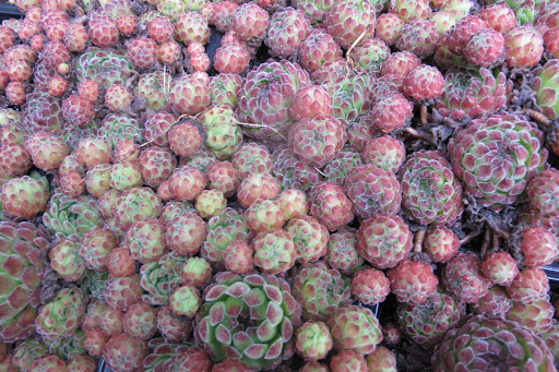 Hens and Chicks survive drought and heat, and they are very hardy.  These would do well along the the path.  Plus, they're very cute.
