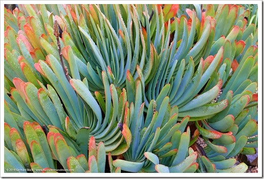 140206_UCBG_Aloe-plicatilis_001