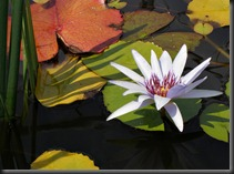 LAVENDER WATER LILY 2