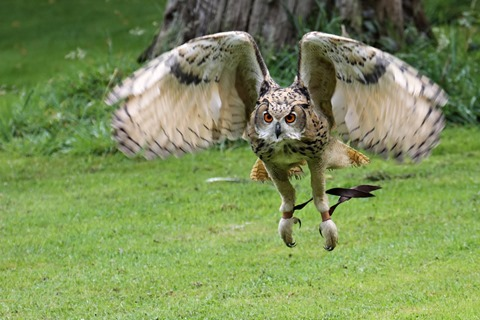 bengal_eagle_owl_flight_by_snowporing-d47c5zu