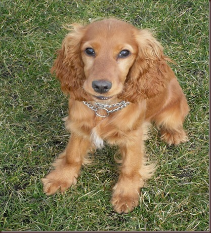 Amazing Animals Pictures Cocker Spaniel (1)