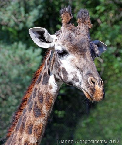 IMG_9076 Giraffe