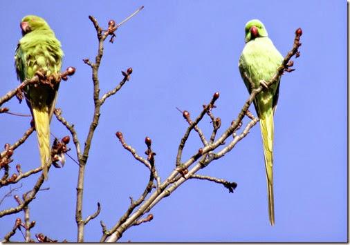 parc montsouris parrots 112214 00000