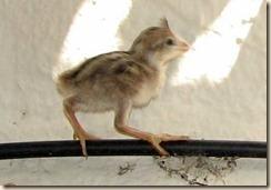 Baby Quail 5-16-2008 9-58-26 AM 514x357
