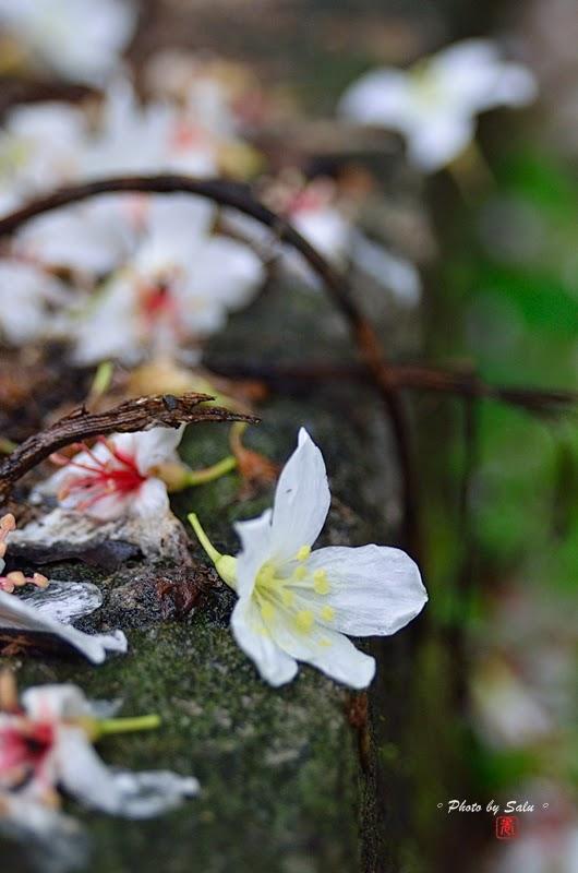 台北 宜蘭 油桐花 五月雪