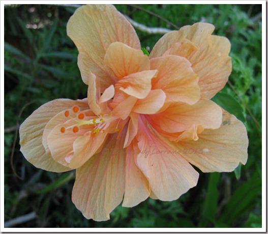 02-17-hibiscus