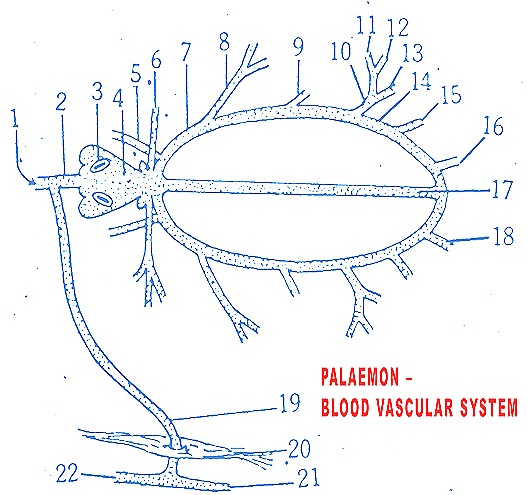 Palaemon-prawn-blood-vascular-system