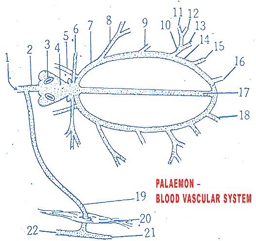 Palaemon-prawn-blood-vascular-system