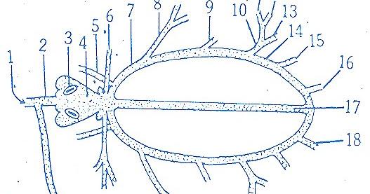 Palaemon prawn blood vascular system biozoom ccuart Images