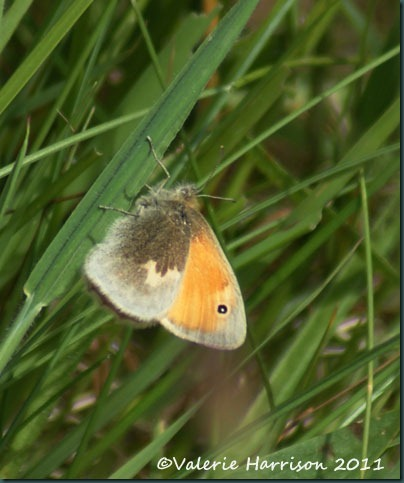 8-small-heath-butterfly
