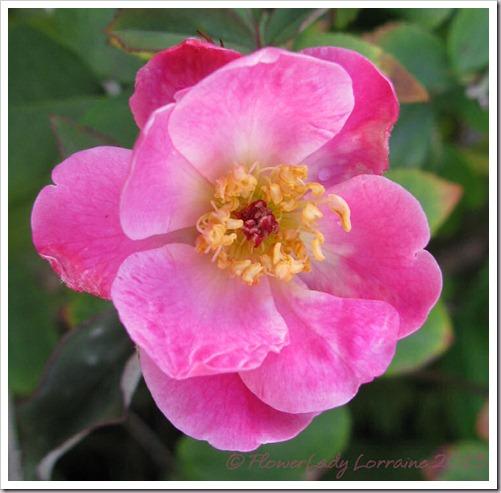 03-18-old-blush