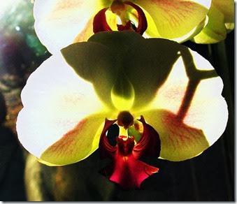 backlit-orchid-1_Barb-Derksen
