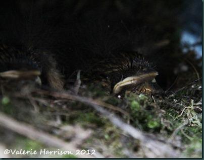 17 baby-robin