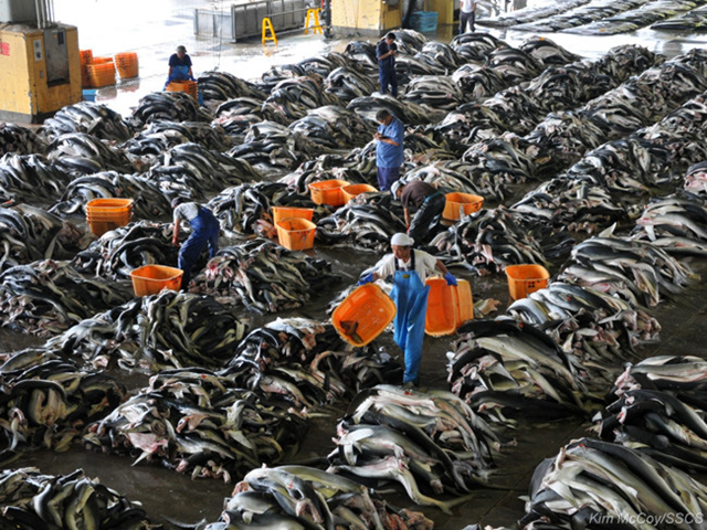 Sanriku Kakou Corporation of Japan harvests sharks on an industrial scale. Photo: Kim McCoy / Sea Shepherd