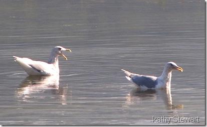 Vocal Gulls