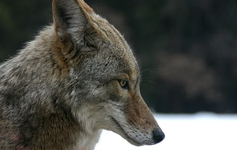 Amazing Pictures of Animals, Photo, Nature, Incredibel, Funny, Zoo, Coyote, Canis latrans, Alex (5)