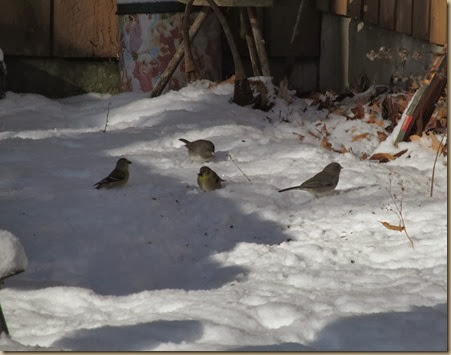 goldfinches and juncos picking up seeds in the snow