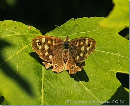 41-Speckled-Wood