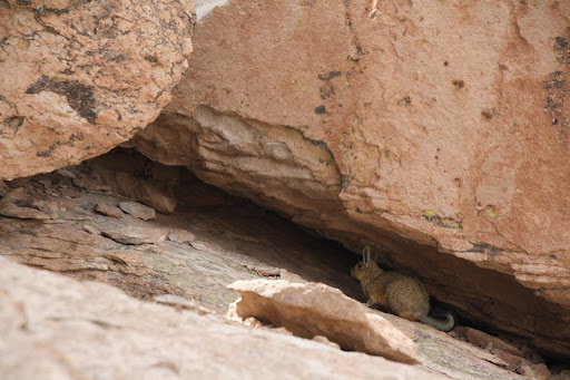 Another viscacha!