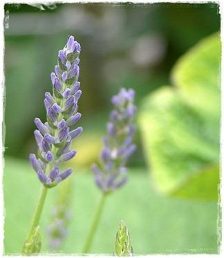 18 lavendel