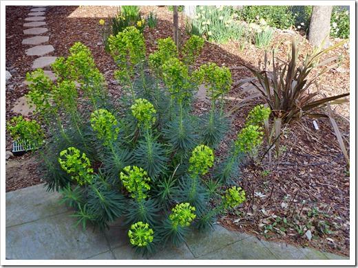 120310_Euphorbia-characias-wulfenii_08