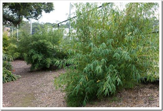 120427_FoothillBG_Borinda-angustissima_ -Yushania-boliana