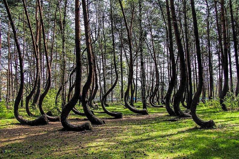 crooked-forest-1