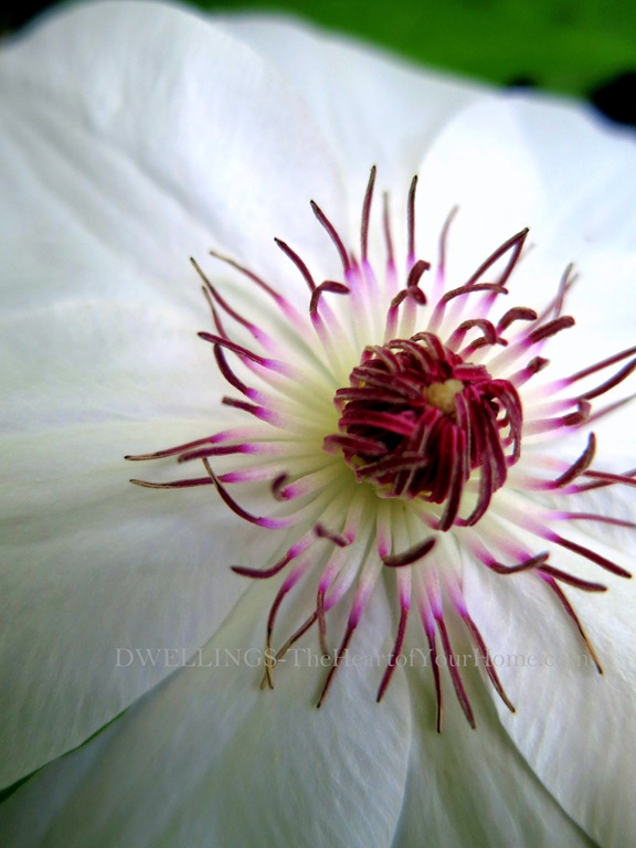White Clematis 2