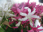These flowers are called Nerine.