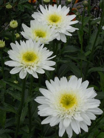 2011.7.22 八重咲きシャスターデージー