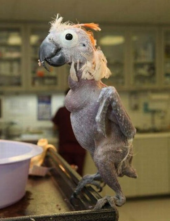 naked parrot
