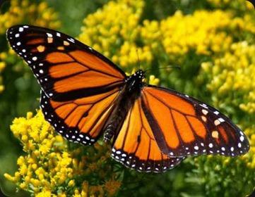 monarch-butterfly11