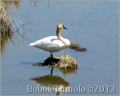 58.Trumpeter.Swan.Christian.Pond.05.11.12