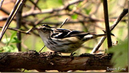 Black and white warbler (3)