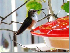 lopez hummingbird 071211 00001