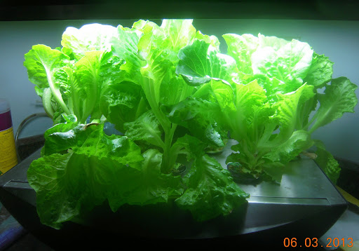 lettuce in an Aerogarden