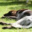 Honden » Claire Van de rooise Dreven (TRIA)