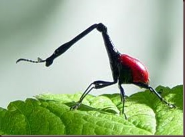 Amazing Pictures of Animals, photo, Nature, exotic, funny, incredibel, Zoo, Giraffe weevil, Insecta, Alex (12)